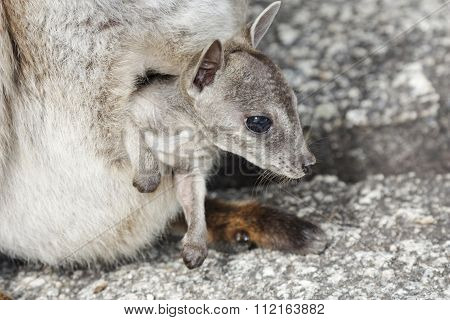 Rock Wallaby Baby In Pouch