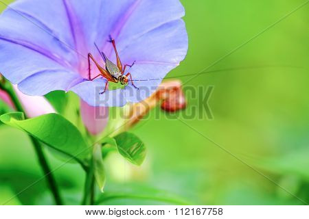 Grasshopper On Violet Flower
