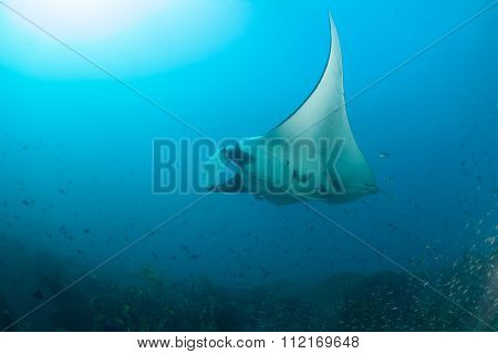 A giant manta ray swimming elegantly