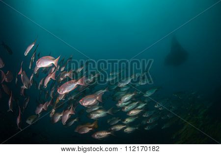 A school of crescent tail big eye fish with a manta ray