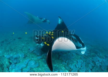 Two manta rays swimming alongside