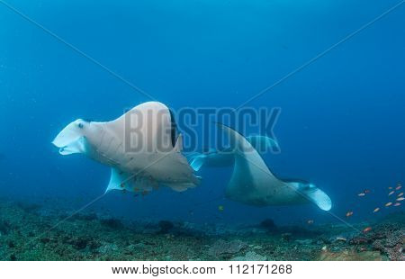 A group of manta rays