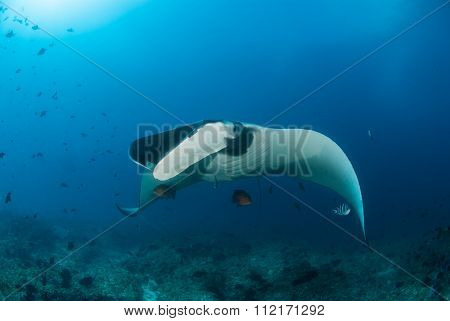 A beautiful manta gliding over a reef
