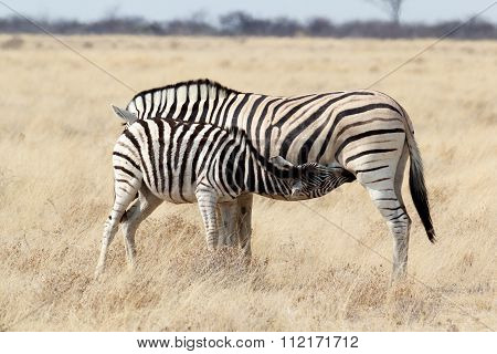 Zebra Foal With Mother In African Bush