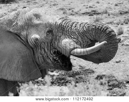 Elephant drinking water close-up