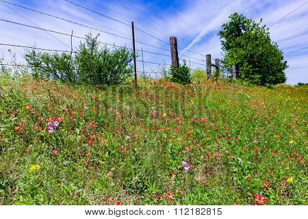 Orange Indian Paintbrush Wildflowers In A Texas Field With Fence.