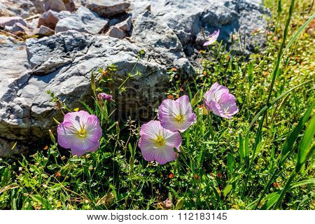 A Cluster Of Texas Pink Evening  Primrose Wildflowers Near Rock