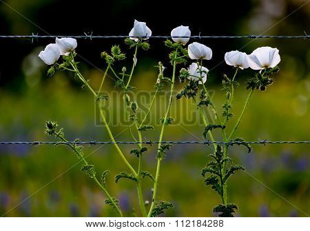 Various Texas Wildflowers In A Texas Pasture At Sunset With Fence