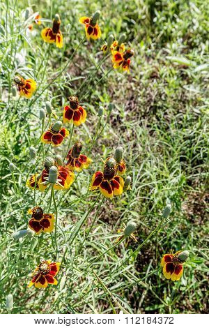 Mexican Hat Wildflowers