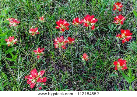 Closeup Of Indian Paintbrush Wildflowers In Texas