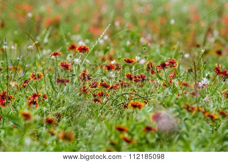 Indian Blanket And Painbrush Wildflowers