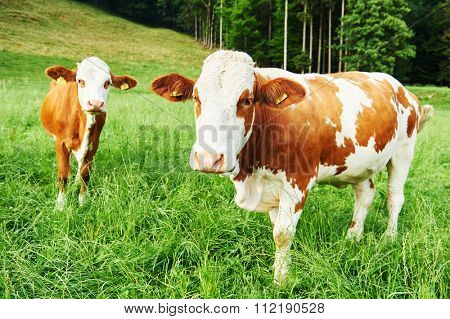 two young brown austrian cow outdoors at pasture meadow