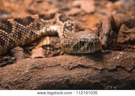 Rattlesnake, Crotalus adamanteus