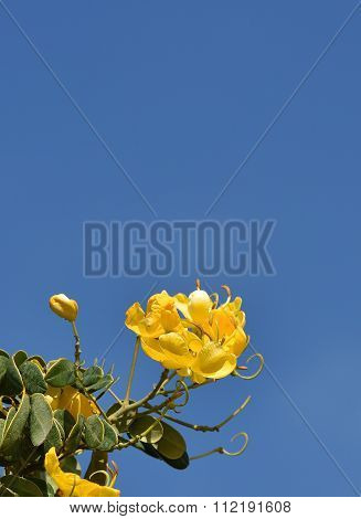 Yellow flower in blur blue sky background, december blossom in Malta, flower, yellow blossom flower.