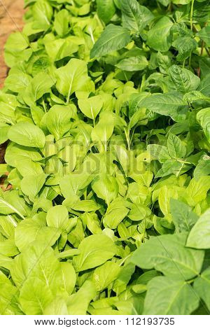 Chinese Cabbage Planted