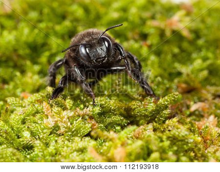 Black Carpenter Bee In Moss Front View