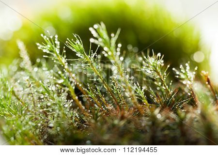 Bright Drops On Moss