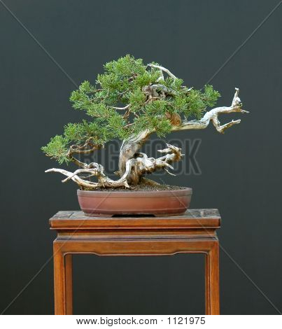 Sabina Juniper Bonsai