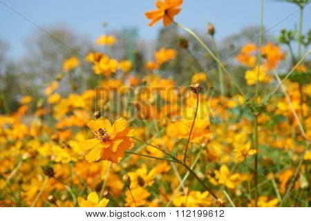 Bee Collect Pollen From Yellow Sulfur Cosmos Flower