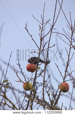 Female Common Blackbird (turdus Merula) Sitting On A Bare Tree With An Apple