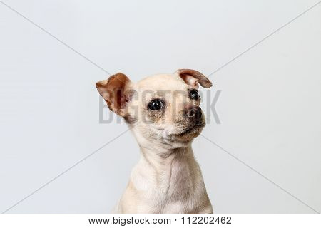 Chihuahua Puppy Against White Background