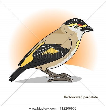 Red browed pardalote bird educational game vector