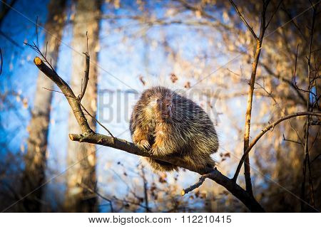 North American Porcupine.