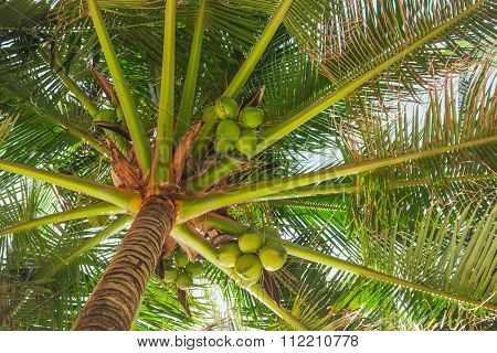Coconuts under leaves of palm trees