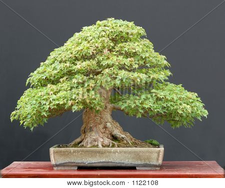 Trident Maple Bonsai In Summer