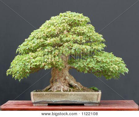 Trident Maple Bonsai In Summer