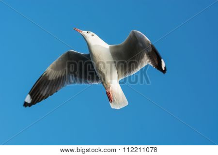 Seagull soars up against the blue sky