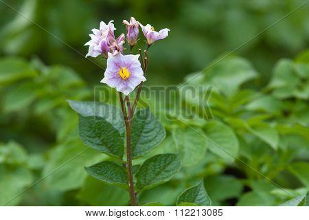 Flowering Potato In The Garden, Closeup
