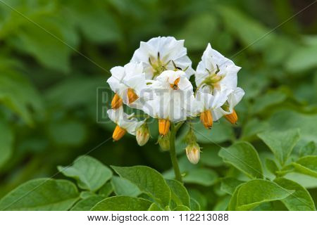 Flowering Potato In The Garden