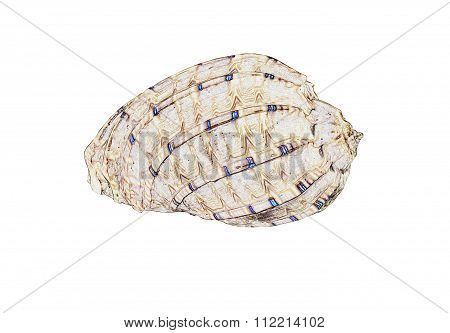 Illustration of a beautiful Sea Shell