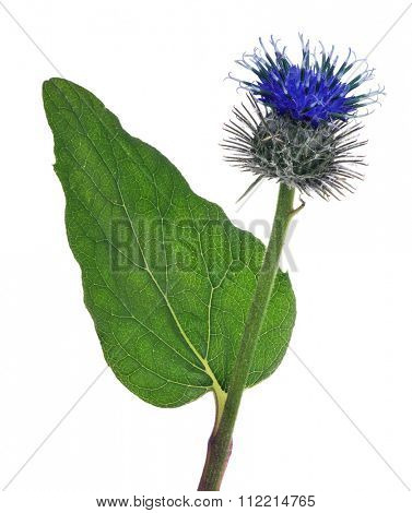 greater burdock flower isolated on white background