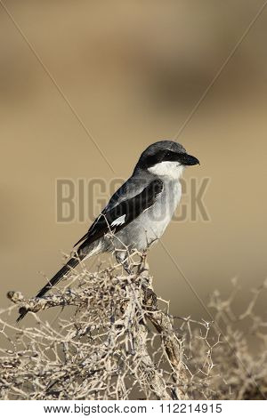 Great Grey Shrike Watching For Pray