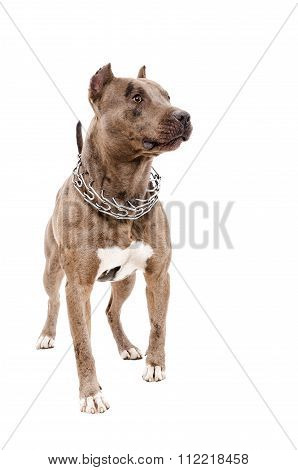 Portrait of a Pit bull standing in full length