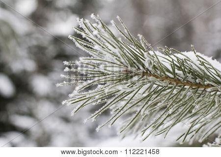 winter landscape background frosty pine branch with white needles