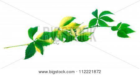 Green Branch Of Grapes Leaves (parthenocissus Quinquefolia Foliage)