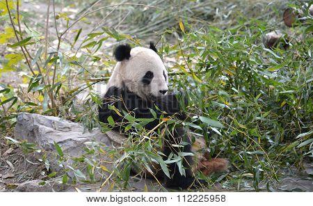 Panda Bear.