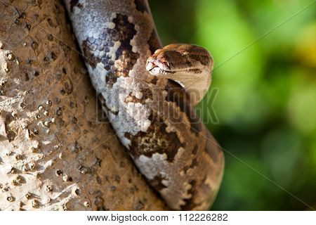 Python Snake Wrapped Close-up Around A Branch