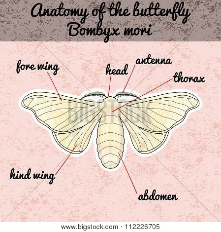 Insect anatomy. Sticker butterfly Bombyx mori. Sketch of butterfly.  butterfly Design for coloring b