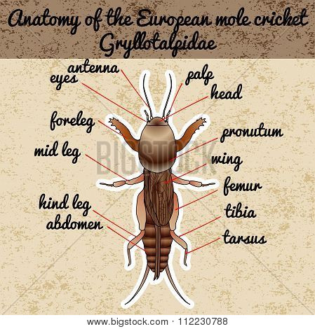 Anatomy of the European mole cricket