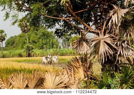 Rice Farmer Tamil Nadu, India,
