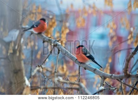 Two Bullfinch Bird Sitting On A Branch
