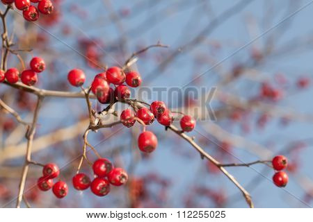 Red hawthorn fruits