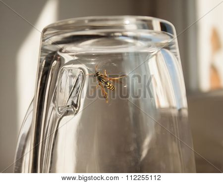 Wasp in glass