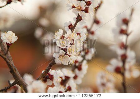 Cherry blossom in spring