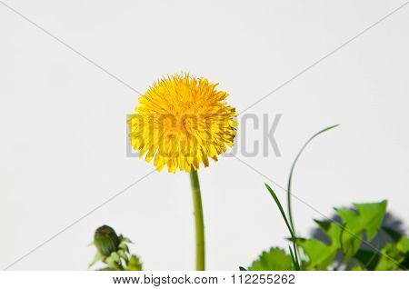 Dandelion flowers isolated