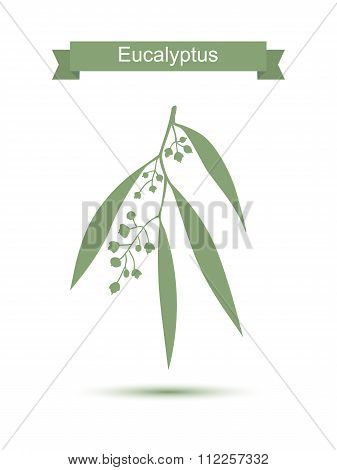 Eucalyptus. Isolated on white background